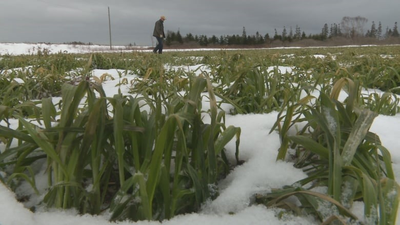 CATCH THE BUZZ – Cover Crops May Increase Winter Temperatures in North America