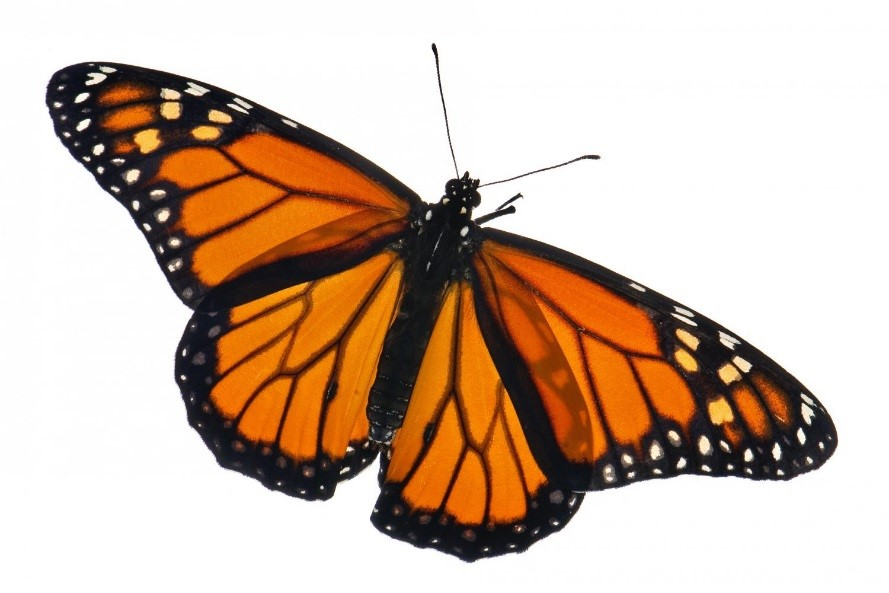 CATCH THE BUZZ – California Monarch Butterfly Population Down 86 Percent in One Year.