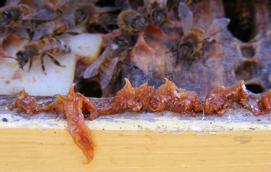 CATCH THE BUZZ – Georgia Scientists Show That More Propolis Means Healthier Bees, and Here's How to Make That Happen.