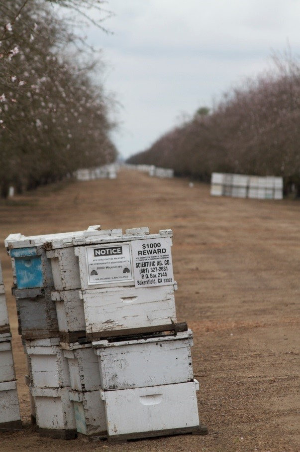 CATCH THE BUZZ – Almond Pollination Colonies Being Stolen, Again. Know Your Beekeeper, Mark Your Hives, Hide Your Hives.