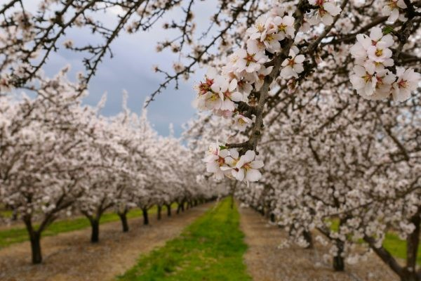 CATCH THE BUZZ – The Almond Board of California Commits to Four New Sustainability Pledges.