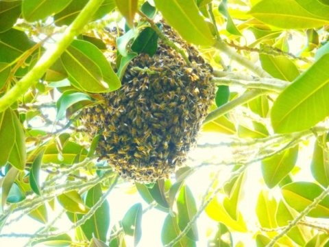 CATCH THE BUZZ – Immense Numbers of Introduced Honey Bees Overwhelm Native Pollinators for Access to Pollen and Nectar, at Least in San Diego