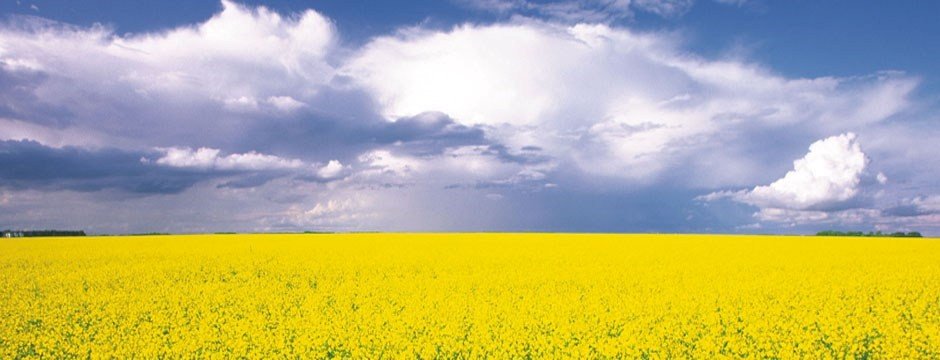 CATCH THE BUZZ – Canola Farmers and Beekeepers Have a Vested Interest in Cooperating and Protecting Bees as Much as Possible.