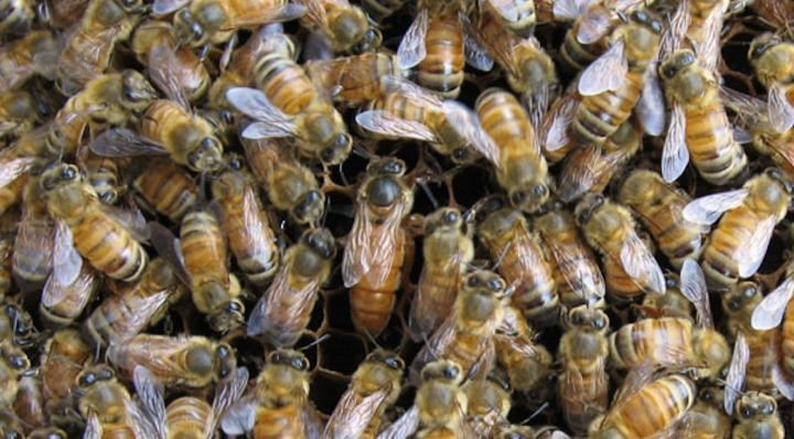 CATCH THE BUZZ – Discovering the Critical Role of the Honey Bee Gut Microbiome in Health and Defense Against Parasites.