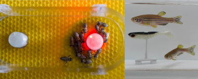 "CATCH THE BUZZ – Fish and Bees ""Talk"" with Help from Robot Translators."