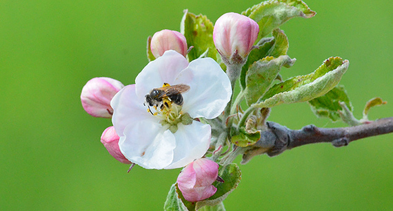 CATCH THE BUZZ – A Key Observation Was That Orchards Fare Best When They Have a Diverse Community of Bees Flying in From Natural Habitats.