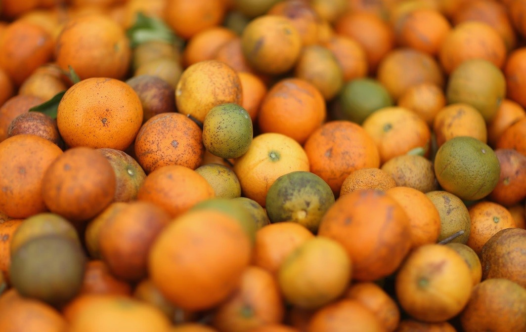 CATCH THE BUZZ – Citrus Greening Has Florida Citrus Crop Down 86% This Year.