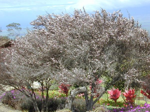 CATCH THE BUZZ – Manuka Plant Samples from 1769 Still High Quality and Easy to ID.