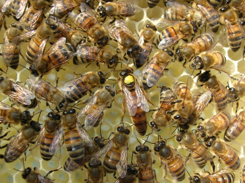 CATCH THE BUZZ – How A Queen Bee Achieves Her Regal Status That Elevates Her From Her Sterile Worker Sisters Has Been A Long-Standing Question