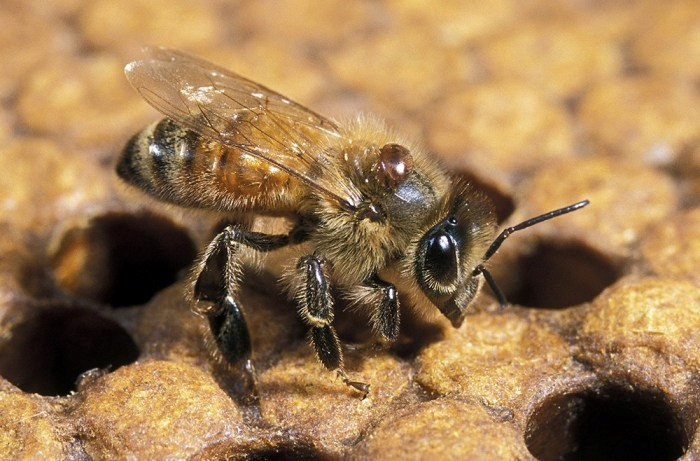 CATCH THE BUZZ – Controlling Varroa – 89% of Large-Scale Beekeepers Said They Use Chemical Varroacides, While 61% Of Small-Scale Beekeepers Do.