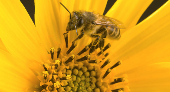 CATCH THE BUZZ – Honey Bee Colonies More Successful By Foraging on Non-Crop Fields.