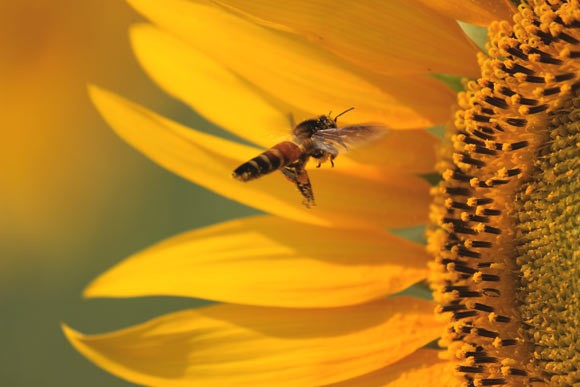 CATCH THE BUZZ – Can Honey Bees Count? They Can Match A Character To A Quantity. So….