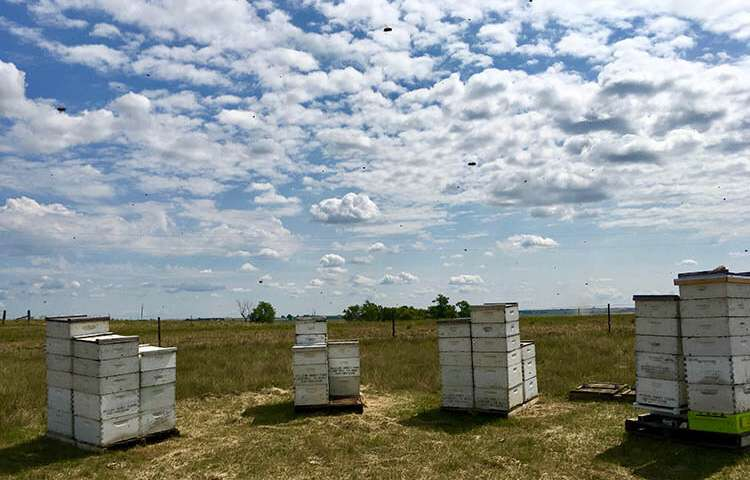 CATCH THE BUZZ – California Almond Farmers Would Benefit from Increased Efforts to Protect Essential Bee Foraging Territory in Northern Prairie States.