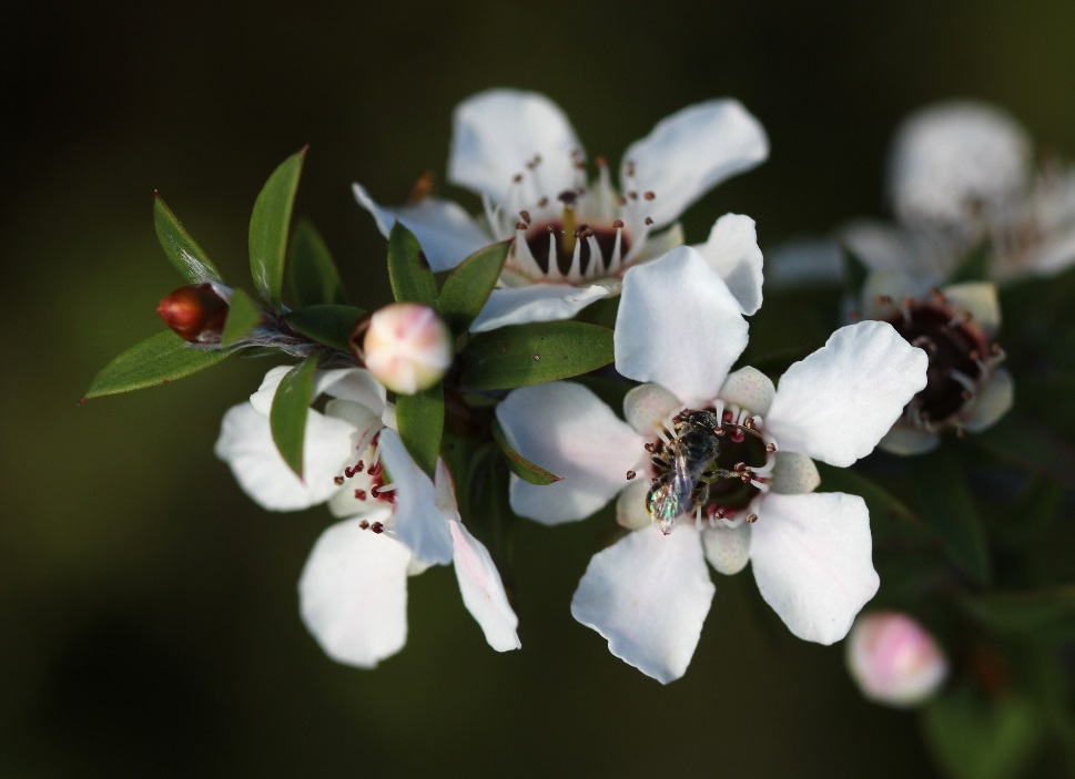 CATCH THE BUZZ – Manuka Honey to Kill Drug-Resistant Bacteria Found in Cystic Fibrosis Infections.