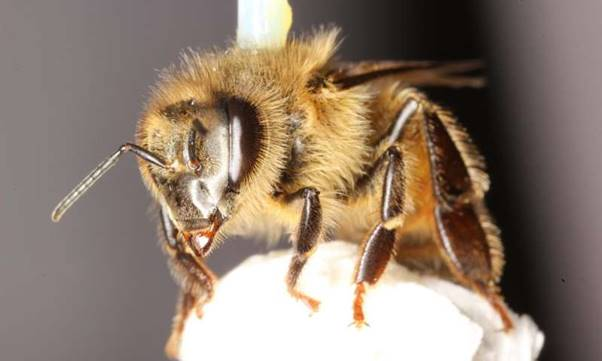 CATCH THE BUZZ – Long Term Exposure to Common Pesticide Damages Honey Bee's Ability to Fly.