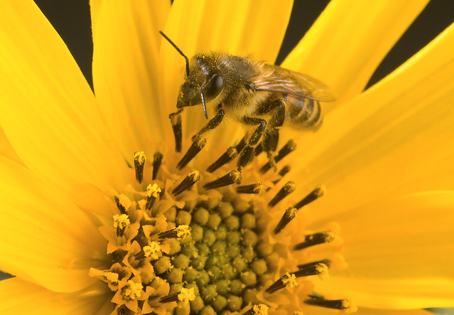 CATCH THE BUZZ – CRP Colonies Had Better Health, More Bees and Greater Ability to Turn Nectar and Pollen into Vitellogenin – No Surprise, But Good News.