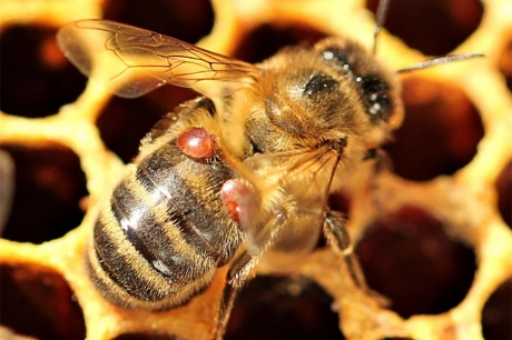 CATCH THE BUZZ – The Roles of Drifting and Robbing in Varroa Destructor Mite Infested Colonies.