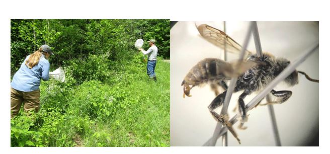 CATCH THE BUZZ – Rare Bee Confirmed In Wisconsin For First Time In More Than A Century.