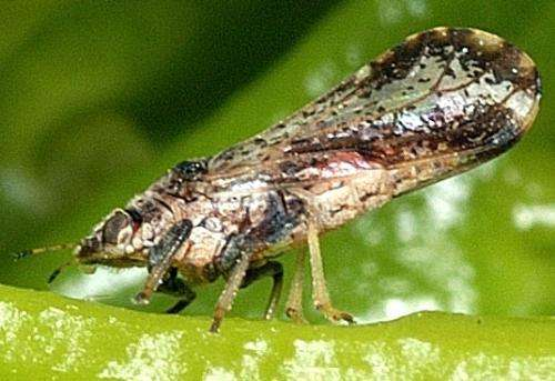 CATCH THE BUZZ – The Citrus Greening Bug Has Been Found In Nevada. Quarantines Are Going Up!