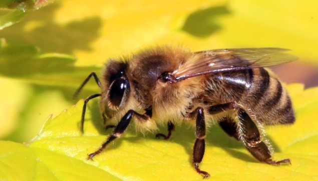 CATCH THE BUZZ – Recent Study Demonstrates Math Skills of Honey Bees, and, Maybe, CCD Effects on Commercial Bees are 'Very Small'.