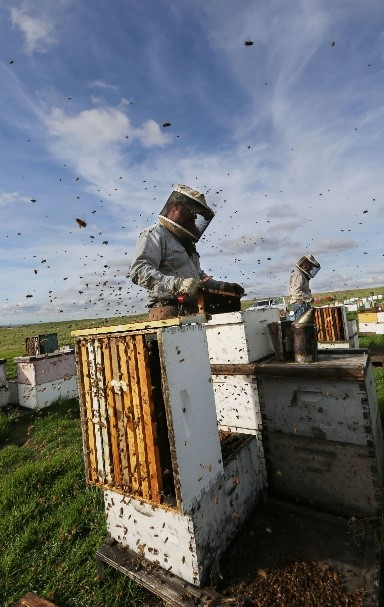 CATCH THE BUZZ – Sharp Drop in Honey Prices Threatens New Harm