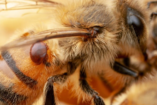 CATCH THE BUZZ – Bacteria Engineered to Protect Bees