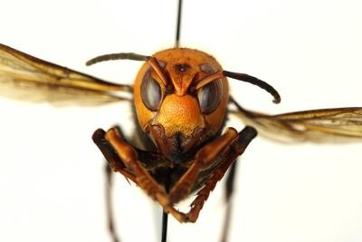 CATCH THE BUZZ- Tracking Asian Giant Hornet