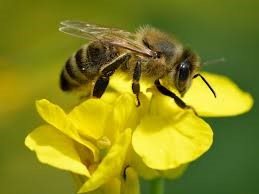 CATCH THE BUZZ – How Do Bees Make Honey