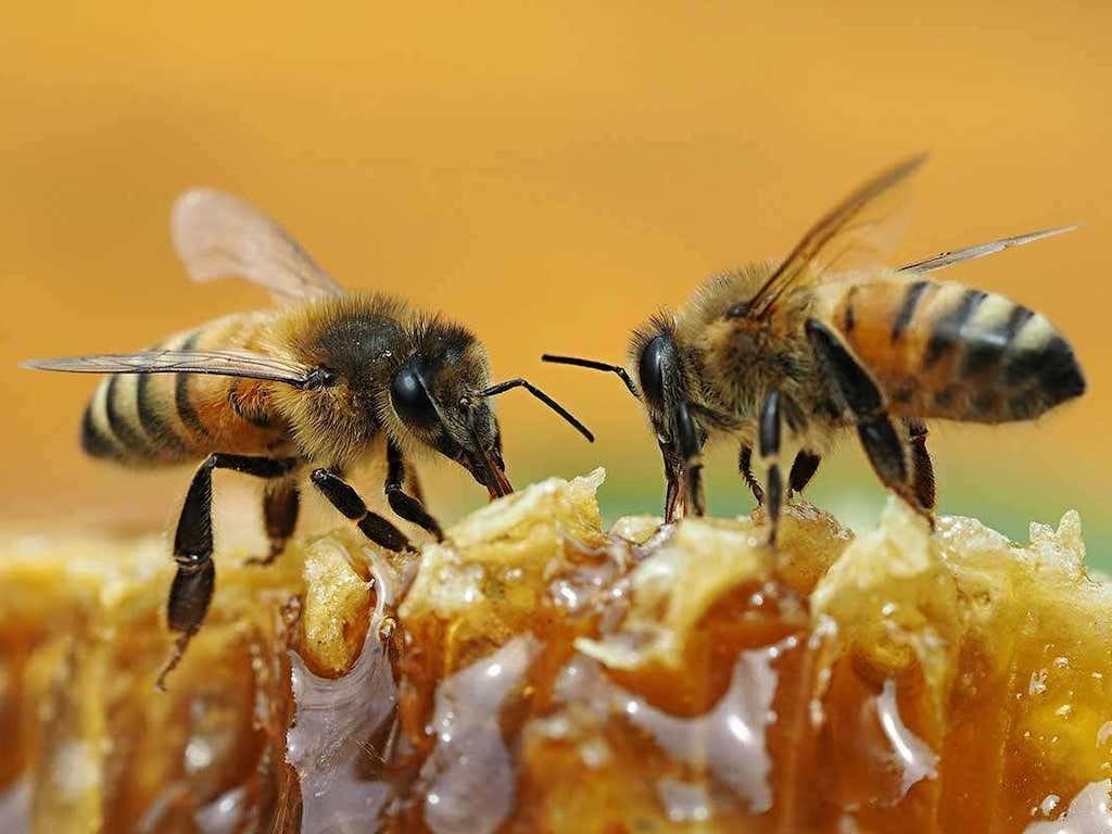 CATCH THE BUZZ-Why Vegans Avoid Honey