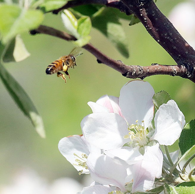 CATCH THE BUZZ – 6 Million Bees to Pollinate Happy Apples