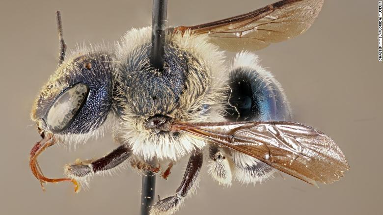 CATCH THE BUZZ – Rare Blue Bee Not Extinct