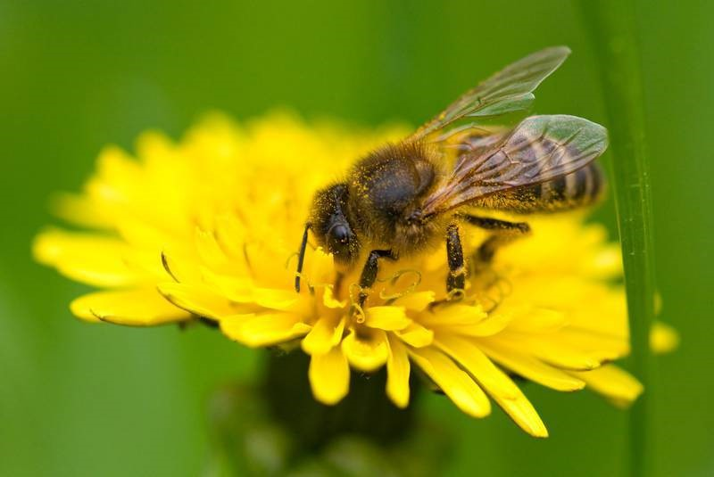CATCH THE BUZZ – Newfoundland and Labrador Bees are Special