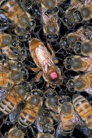 CATCH THE BUZZ – Can Worker Bees Infect the Queen with Viruses?