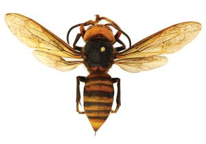 New Honey Bee Pests In North America