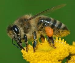 CATCH THE BUZZ – We are Inadvertently Damaging Honey Bees