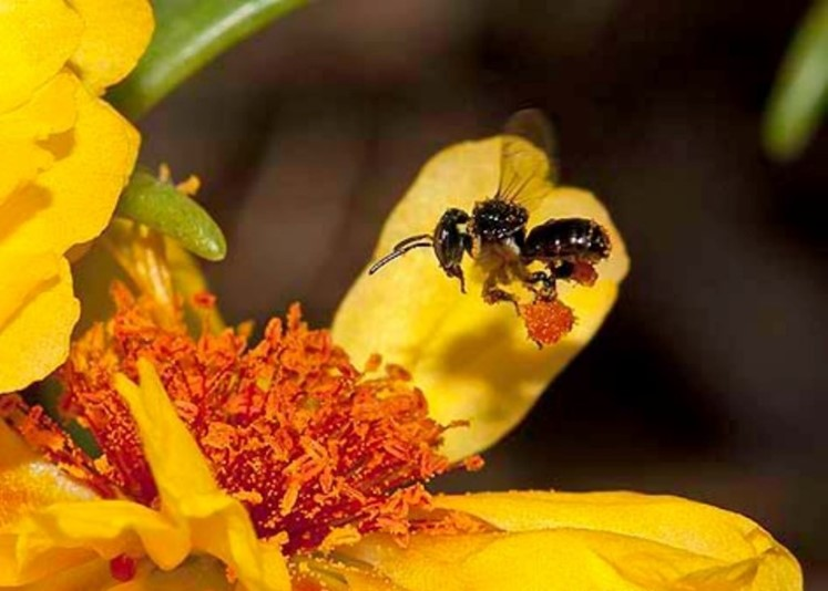 CATCH THE BUZZ- Stingless Bees in Crop Pollination