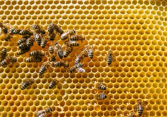 CATCH THE BUZZ – Honey Bee Populations Have Grown