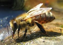 CATCH THE BUZZ – Honey Bee Vaccine