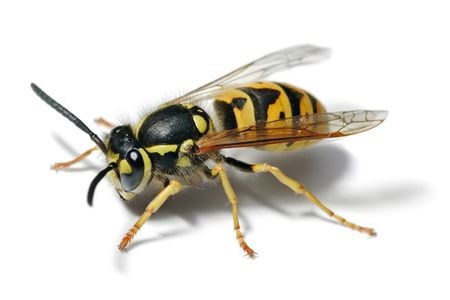 CATCH THE BUZZ – It's a Yellow Jacket!!