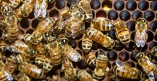 CATCH THE BUZZ- Honey Bees lose Sleep after Ingesting Pesticides.
