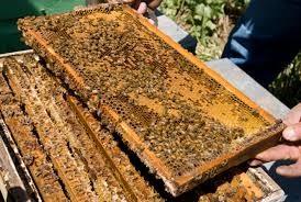 CATCH THE BUZZ- Bt pesticide has no effect on Honey Bees