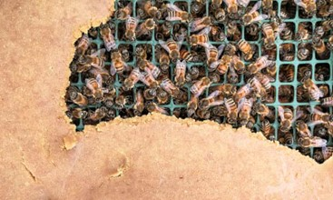 CATCH THE BUZZ- Nutritious Substitutes for Honey Bees