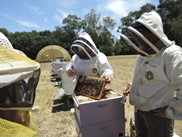CATCH THE BUZZ – UC Davis Honey Bee Health Funding
