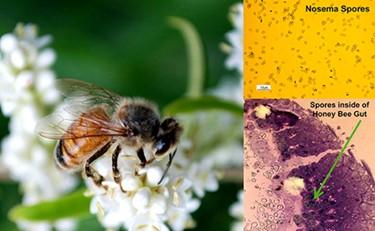 CATCH THE BUZZ- Honey Bee Nosema Parasite Hijacks Iron