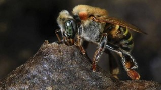 CATCH THE BUZZ – New Bee Species Found in Brazil