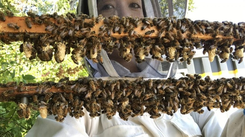 CATCH THE BUZZ- Secret Reproductive Lives of Honey Bees