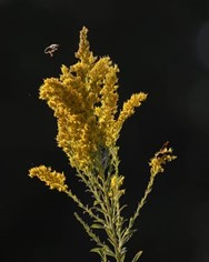 CATCH THE BUZZ- Pollinators Need Flowering Food