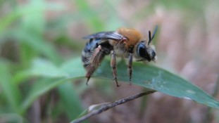 CATCH THE BUZZ- Neonic Soil Treatment Hurts Ground Nesting Bees