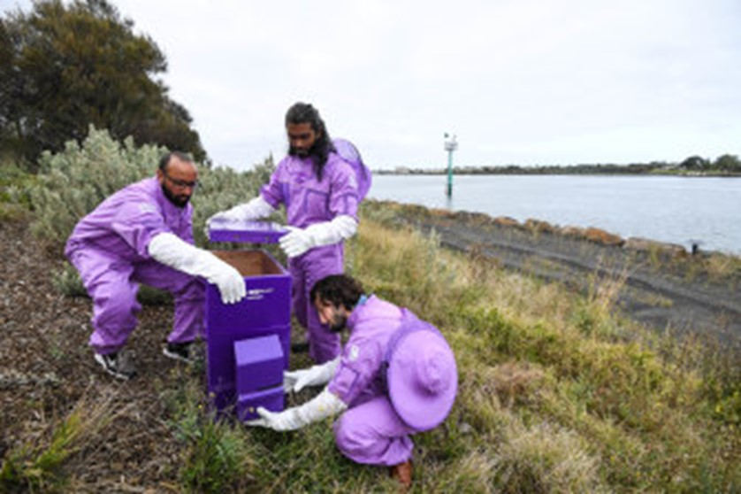 CATCH THE BUZZ- Australia's Purple Hives
