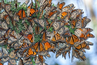 CATCH THE BUZZ- Save the Butterflies—but Not to Save Our Food Supply